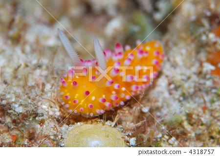 图库照片: 海洋动物 海参 外壳