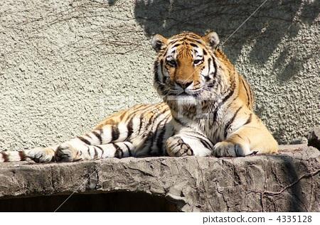 照片素材(图片): 西伯利亚虎 动物 老虎