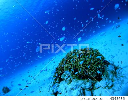珊瑚 海底的 蓝色珊瑚