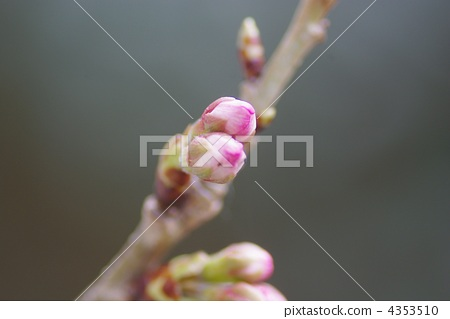 樱桃树 发芽 蓓蕾