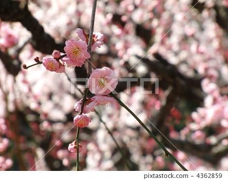 梅花 树枝低垂的李树 春天