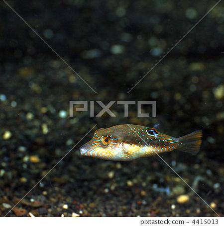热带鱼 河豚 河豚鱼