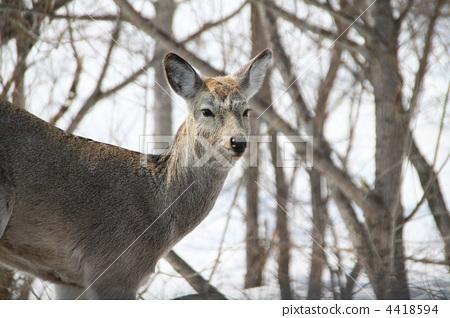 日本鹿 鹿 动物宝宝
