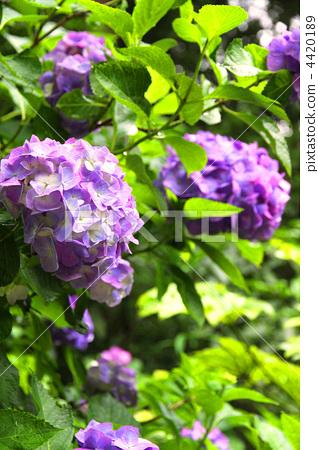 植物 首页 照片 植物_花 绣球花 绣球花 花瓣 植物  *pixta限定素材仅