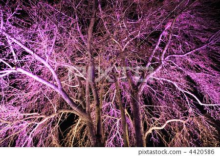 樱花 夜晚的樱花树 木头-图片素材