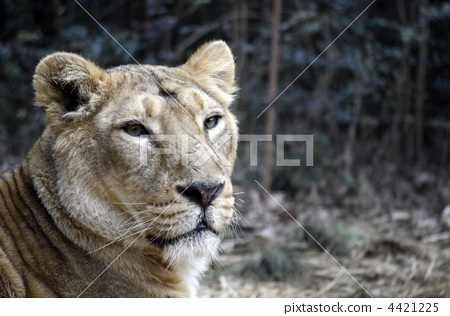 嘴 首页 照片 动物_鸟儿 狮子 狮子 凶猛的野兽 嘴  *pixta限定素材仅