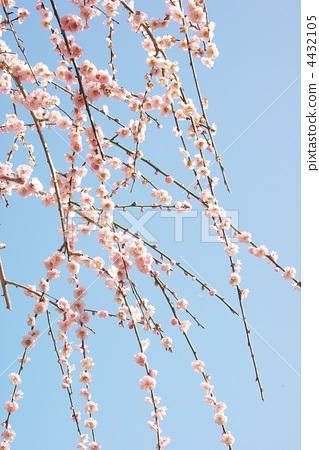一朵梅花 树枝低垂的李树 日本杏花