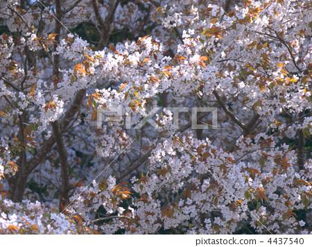 樱花 樱桃树 野樱桃花