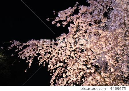 树枝低垂的樱花树 夜晚的樱花树 樱花