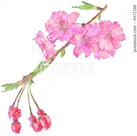 树枝低垂的樱花树 樱桃树