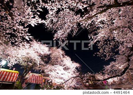 樱桃树 樱花祭 夜晚的樱花树
