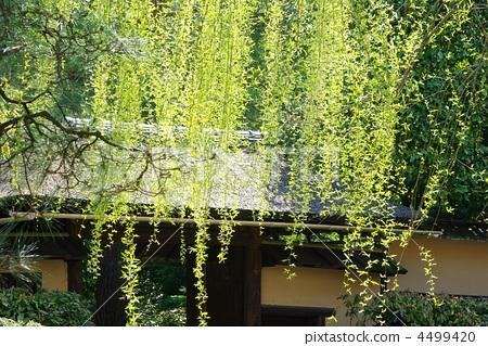 壁纸 垂柳 风景 柳树 树 植物 桌面 450_319