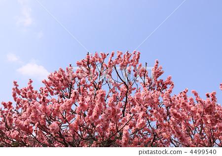 植物_花 梅花 梅花 日本杏花 一朵梅花 日本梅子  *pixta限定素材仅在