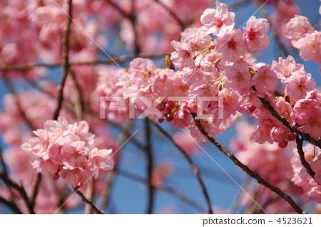 照片: 花朵 樱花 樱桃树