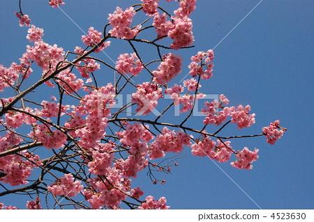 野樱桃树 樱花 樱桃树