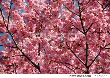 野樱桃树 樱花 山樱桃