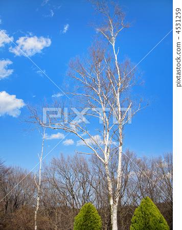 银桦树 桦木树 复制空间