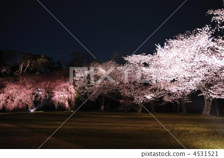 照片 植物_花 樱花 樱花 夜樱 夜晚的樱花树 樱花  *pixta限定素材仅