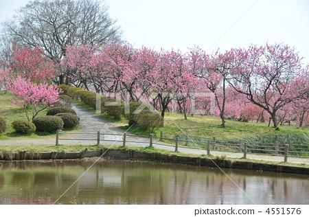 桃树林 桃花 古贺公园