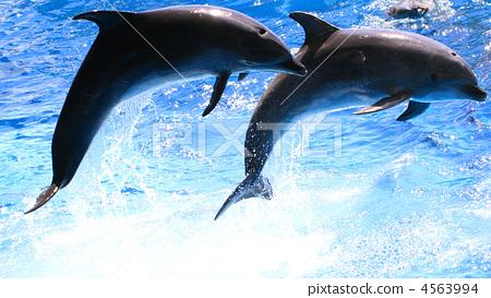 图库照片: 海洋动物 海豚 跳