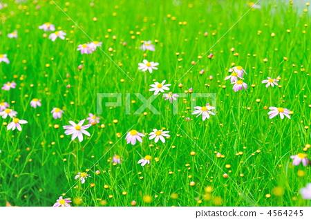 紫菀属植物 野菊花 野草