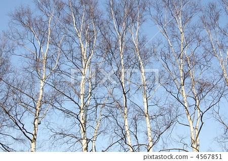 照片 风景_自然 森林_森林 森林 桦树 桦木 白桦  *pixta限定素材仅在
