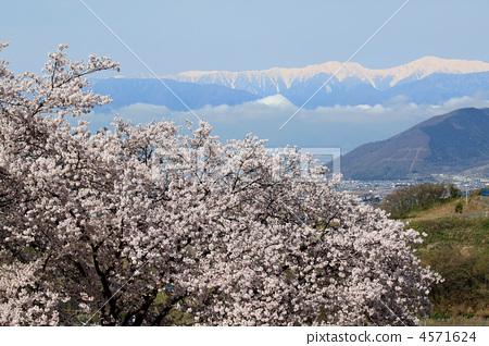 吉野樱花树 胜沼町 风景