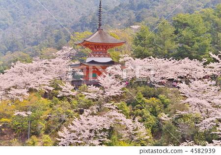 樱花 樱桃树 宫古岛神社