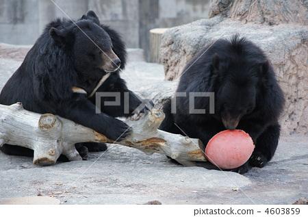动物 马来人太阳熊 动物宝宝