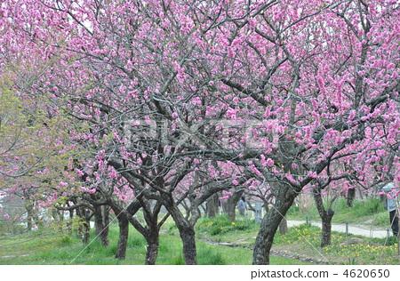 桃树林手绘