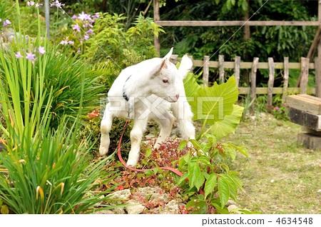 图库照片: 小山羊 可爱 美丽