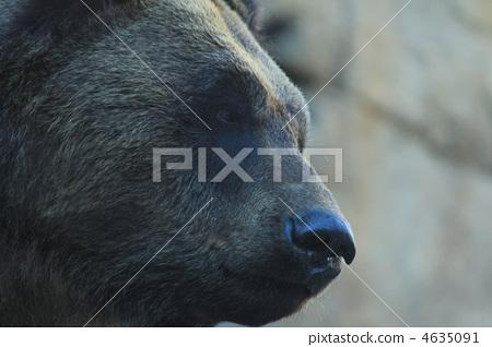 图库照片: 熊 陆生动物 外形