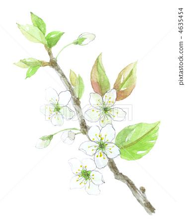 插图素材: 梨花 花朵 花