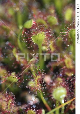 图库照片: 茅膏菜 鸟海山 食肉植物
