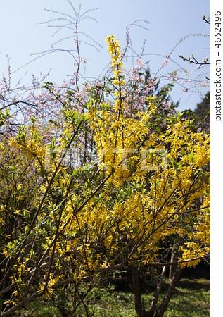 首页 照片 植物_花 樱花 樱花 连翘 阔叶树 落叶灌木  *pixta限定素材