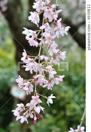 照片素材(图片): 垂枝樱花 枝垂樱 樱花