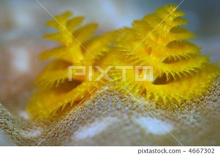 圣诞树蠕虫 珊瑚