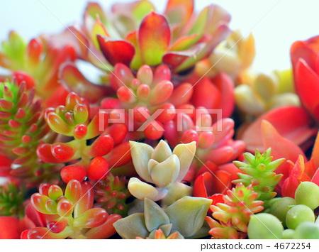 多肉植物 肉质植物 红色