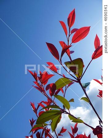 图库照片: 深红色的日本红叶石楠 石楠 万里无云