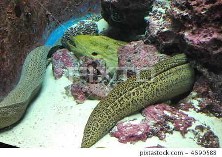图库照片: 海鳝 鱼 咸水鱼