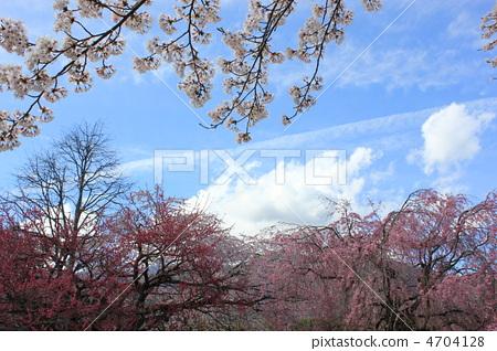 照片 植物_花 花 春之花 垂枝樱花 枝垂樱 朱红色  *pixta限定素材仅