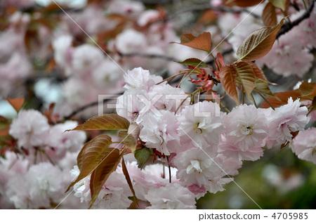 照片: 樱花 樱桃树 重瓣樱树