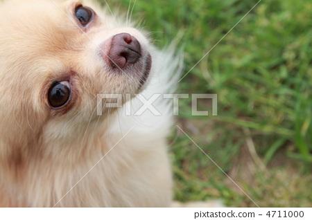 玩具狗 吉娃娃 小型犬