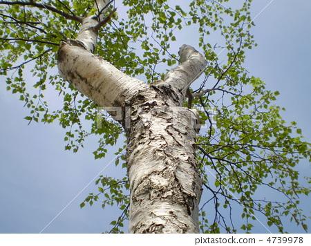 木头 银桦树 日本白桦