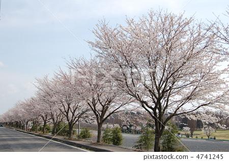 樱花 从观众席通向舞台的通道 樱桃树