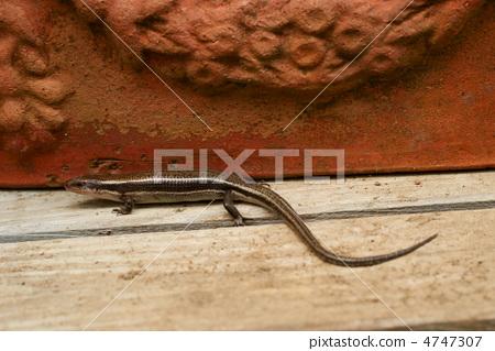 照片: 蝎虎天体 巢里的卵 爬行动物