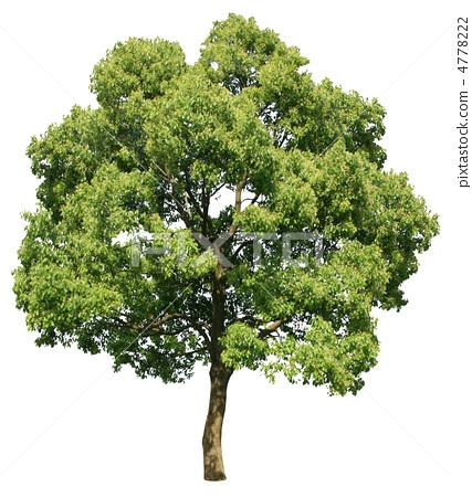 樟树简笔画图片大全