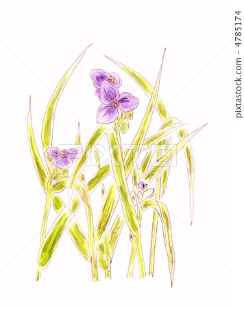 紫露草 俄亥俄紫鸭拓草 叶子