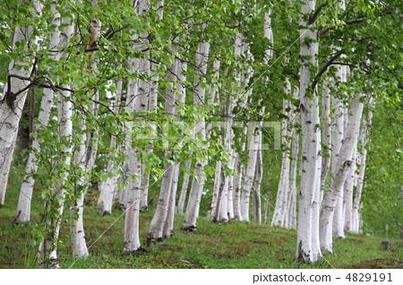 银桦树 落叶阔叶树