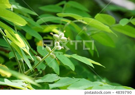 胡桃楸 木头 树叶